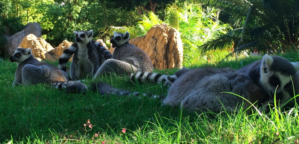 Lemurs at the Bioparc in Valencia